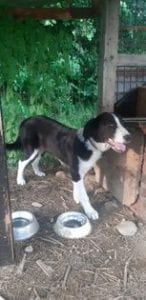 Bailey a black and white Romanian rescue dog | 1 Dog at a Time Rescue UK