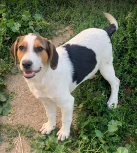 Beccie a black and white Romanian rescue dog | 1 Dog at a Time Rescue UK