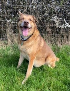 Butch a sandy coloured rescue dog 4 | 1 Dog at a Time Rescue UK