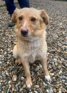 Cammie a light coloured Romanian rescue dog | 1 Dog at a Time Rescue UK