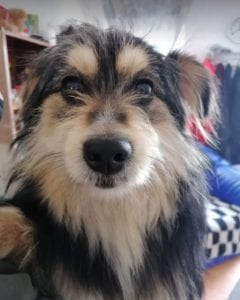 Freddie a black and tan Romanian rescue dog | 1 Dog at a Time Rescue UK