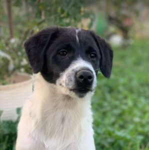 Hailey a black and white Romanian rescue Dog | 1 Dog at a Time Rescue UK