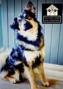 Jimmy medium sized black and tan Romanian Rescue Dog | 1 Dog at a Time Rescue UK