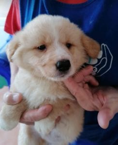 Lenny a cream coloured Romanian rescue puppy   1 Dog at a Time Rescue UK
