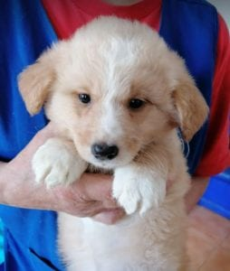 Lenny a cream coloured Romanian rescue puppy | 1 Dog at a Time Rescue UK