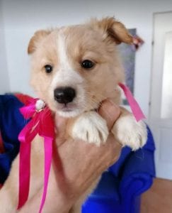 Libby a faun coloured Romanian rescue puppy | 1 Dog at a Time Rescue UK