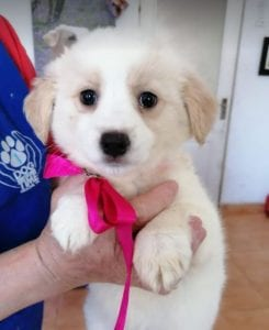 Lola a cream coloured Romanian rescue puppy | 1 Dog at a Time Rescue Uk