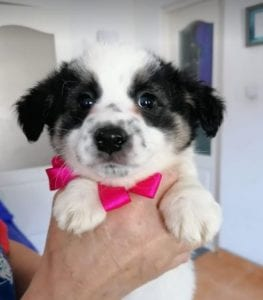 Lottie a black and white Romanian rescue puppy | 1 Dog at a Time Rescue UK