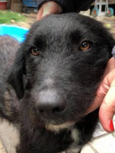 Miro a black Romanian rescue dog | 1 Dog at a Time Rescue UK