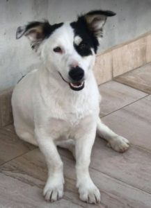 Monte a black and white Romanian rescue dog | 1 Dog at a Time Rescue UK