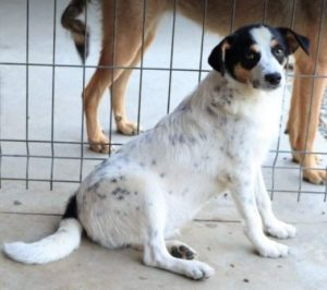 Murray a black and white Romanian rescue dog | 1 Dog at a Time Rescue Uk
