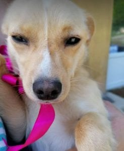 Poppy a faun coloured Romanian rescue dog   1 Dog at a Time Rescue UK