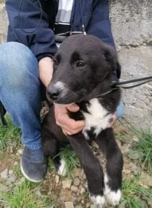 Rosa a black and white Romanian rescue dog | 1 Dog at a Time Rescue UK