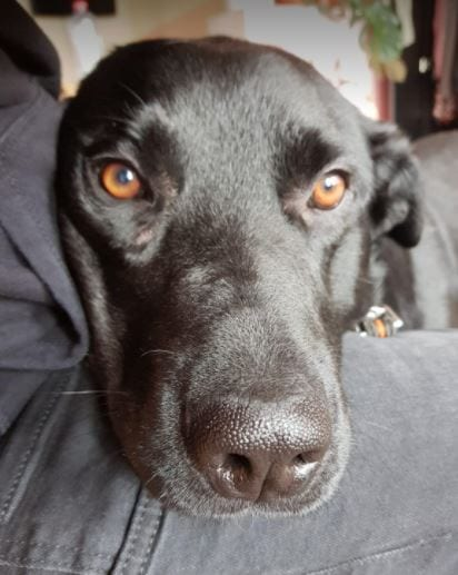 Rufus a black Romanian rescue dog | 1 Dog at a Time Rescue UK