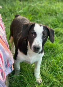 Sadie a black and white Romanian rescue dog | 1 Dog at a Time Rescue UK