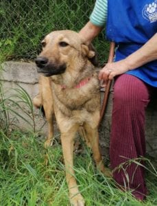 Tessa a faun coloured Romanian rescue dog | 1 Dog at a Time Rescue UK