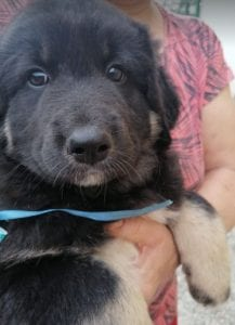 Angus a black and faun Romanian rescue puppy   1 Dog at a Time Rescue UK