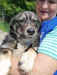Barney a brindle coloured Romanian rescue dog   1 Dog at a Time Rescue UK