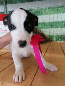Ella a black and white Romanian rescue puppy   1 Dog at a Time Rescue UK