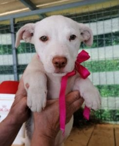 Emma a white Romanian rescue puppy   1 Dog at a Time Rescue UK