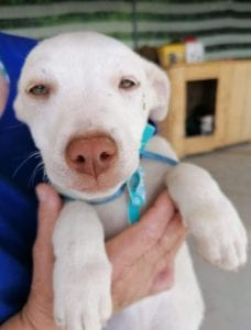 Joey a white Romanian rescue puppy   1 Dog at a Time Rescue UK