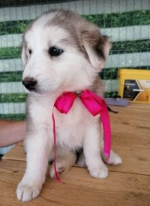 Kayla a white and grey Romanian rescue puppy | 1 Dog at a Time Rescue UK