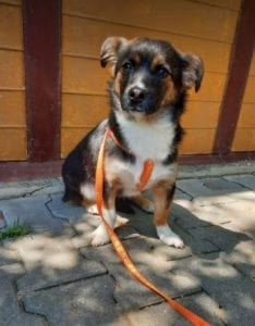 Lily a black and tan Romanian rescue dog   1 Dog at a Time Rescue UK