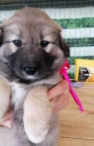 Luna a faun Romanian rescue puppy | 1 Dog at a Time Rescue UK