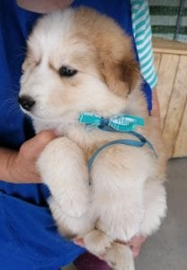 Marley a white and faun Romanian rescue puppy   1 Dog at a Time Rescue UK