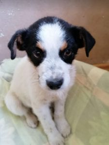 Murray a black and white Romanian rescue dog   1 Dog at a Time Rescue Uk
