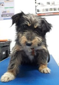 Percy a black an tan Romanian rescue dog   1 Dog at a Time Rescue UK