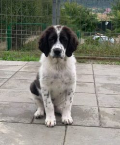 Beau a black and white Romanian rescue dog | 1 Dog at a Time Rescue UK