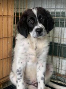 Benji a black and white Romanian rescue dog | 1 Dog at a Time Rescue UK