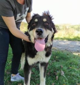 Casey a black and tan Romanian rescue dog | 1 Dog at a Time Rescue UK