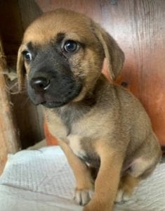 Casper a tan Romanian rescue dog   1 Dog at a Time Rescue UK