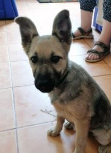 Cleo a faun coloured Romanian rescue dog   1 Dog at a Time Rescue UK