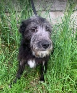 Danny a black Romanian rescue dog   1 Dog at a Time Rescue UK