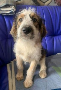 Duffie a brown and white colour Romanian rescue dog 1 | 1 Dog at a Time Rescue UK