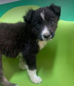 India a black and white Romanian rescue dog | 1 Dog at a Time Rescue UK