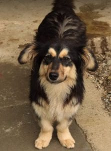 Penny a black and tan Romanian rescue dog   1 Dog at a Time Rescue UK