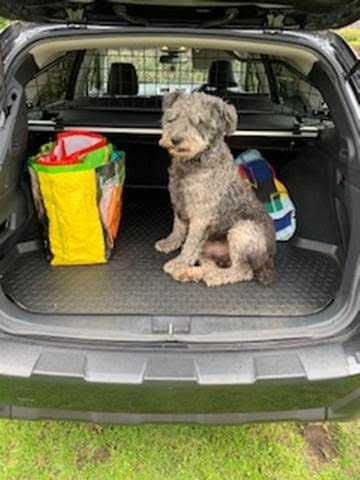 Pete a Romanian rescue sitting in the back of a car | 1 Dog At a Time Rescue UK