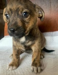 Sally a brindle Romanian rescue dog | 1 Dog at a Time Rescue UK