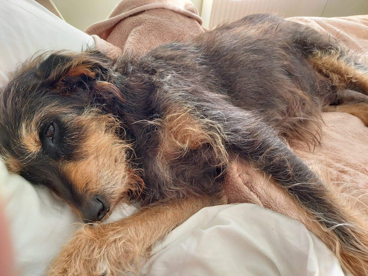 Bessie a brown and tan Romanian street dog lying down | 1 Dog At a Time Rescue UK