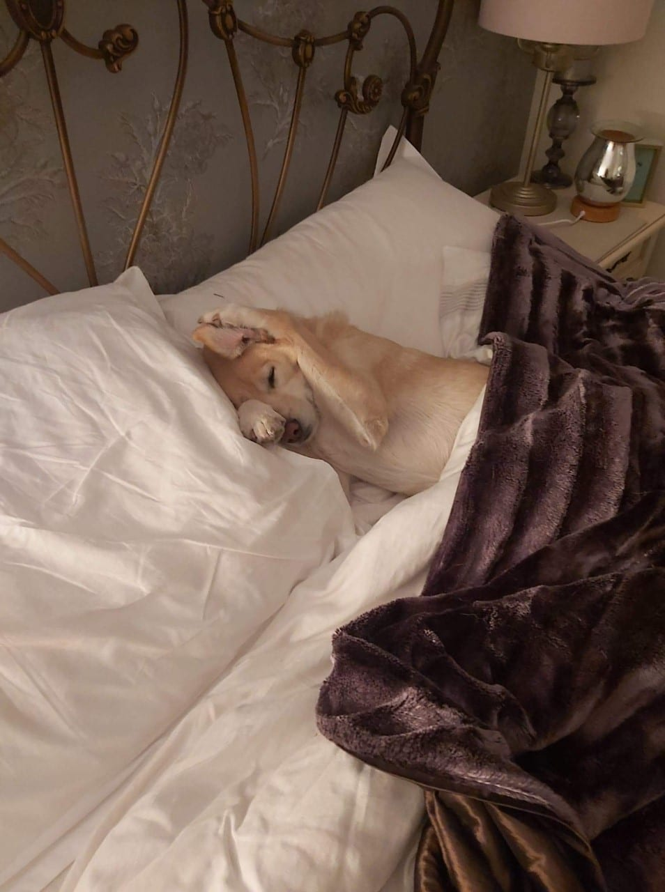 Bobby a cream coloured Romanian street dog asleep in bed | 1 Dog At a Time Rescue UK