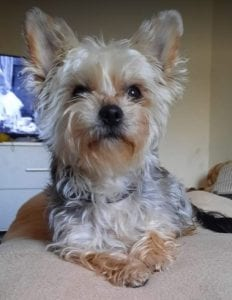 Cindy a grey and tan Romanian rescue dog | 1 Dog at a Time Rescue UK