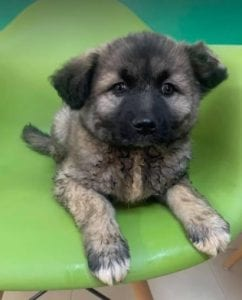 Sunshine a black and faun Romanian rescue dog | 1 Dog at a Time Rescue UK
