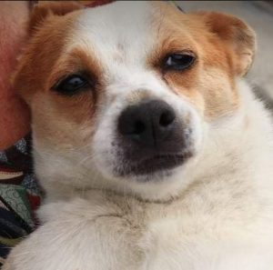 Daisy a white and faun colour Romanian rescue dog   1 Dog at a Time Rescue UK