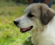Gemma a white and faun Romanian rescue dog   1 Dog at a Time Rescue UK