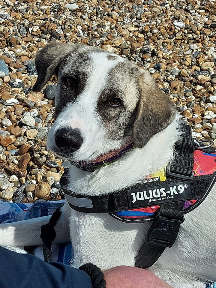 Pepper a white and brown Romanian street dog on the beach | 1 Dog At a Time Rescue UK