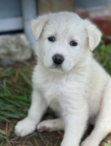 Eddie a white Romanian rescue dog | 1 Dog at a Time Rescue UK